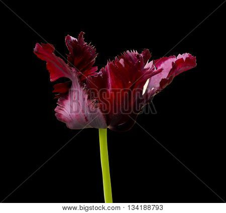 A general view of a dark pink tulip flower closeup on a black background