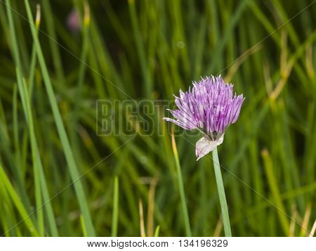 Purple chives blossom at flowerbed with bokeh background macro selective focus shallow DOF