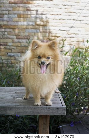 Brown Pomeranian Puppy Standing On Wood Table