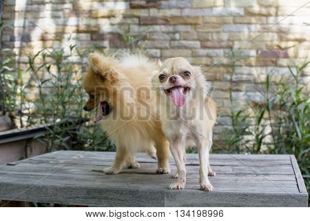 Selective Focus On Small Body Brown Chihuahua Dog