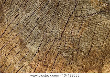 Log of pine tree. Abstract texture for design