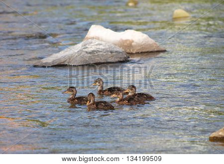 group of several ducklings swimming together in the river