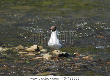 seagull standing on the stones in the river