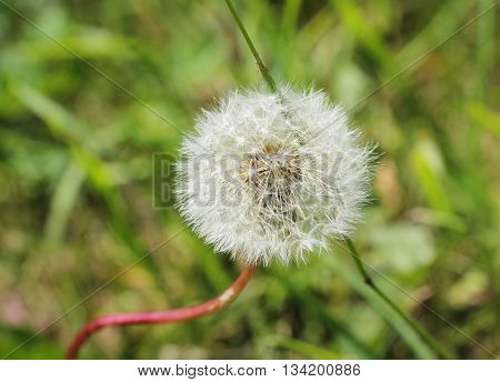 close photo of dandelion with white fluff in spring