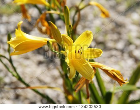 close photo of nice yellow blooms of yellow daylily
