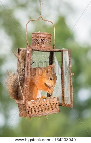 red squirrel is standing in old storm lamp