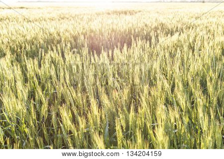 Field Of Ripe Wheat Or Rye In Sunset Beams
