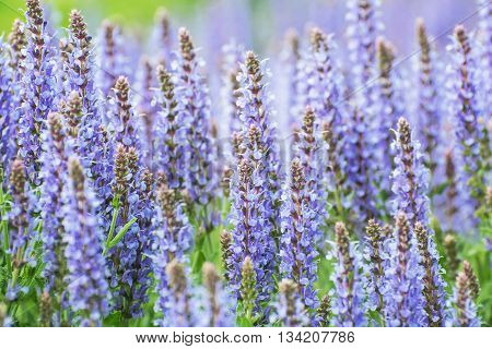 Salvia officinalis (Sage also called Garden sage or Common sage) is a perennial evergreen subshrub. Seasonal natural background. Beauty in nature.