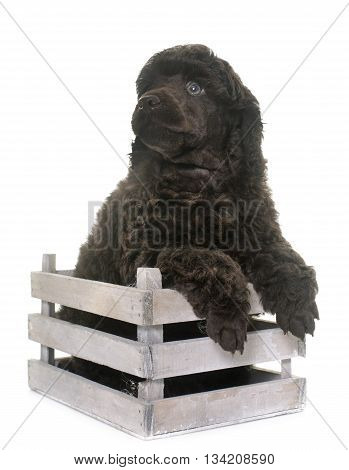 puppy poodle in front of white background