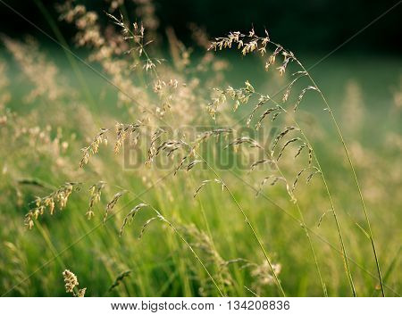 Fresh summer grass field at dawn sunlight nature background