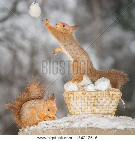 red squirrels standing in snow and basket with snowballs