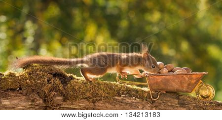red squirrel standing on branch with wheelbarrow and nuts