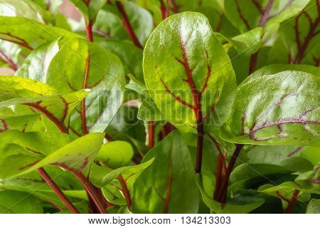 A variety of fresh green sorrel leaves in closeup showing the distinctive red veins.