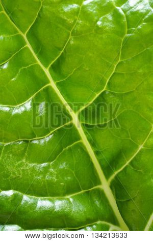 A fresh green spinach / silverbeet leaf in closeup showing the prominent leaf veins.