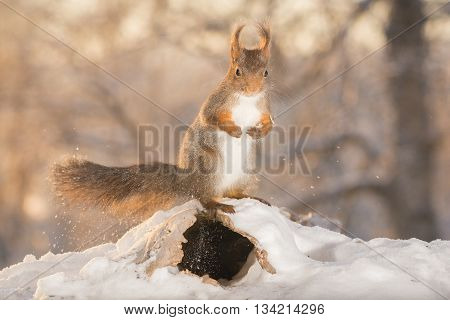 close up of red squirrel in snow with hole beneath