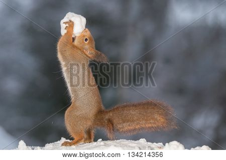 red squirrel standing in snow with snowball