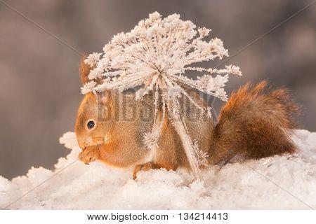 red squirrel standing on snow under frozen plant