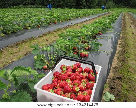 Red strawberries in a white basket stands on film on the strawberry the garden strawberry field in Finland.