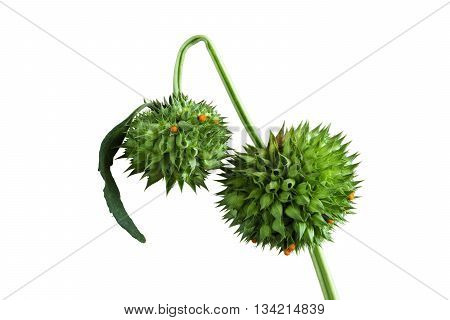 Wilted and drooping flowers on white Background