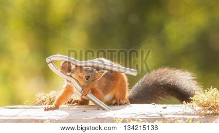 red squirrel standing with a nutcracker and nut