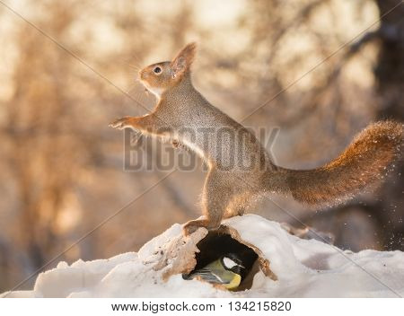 close up of red squirrel in snow with hole beneath with titmouse in it