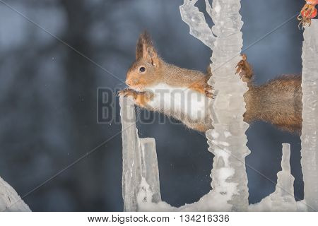 red squirrel holding on to icicles in snow