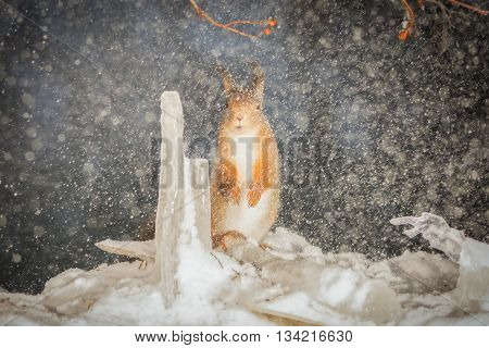 red squirrel standing with icicles in snow storm