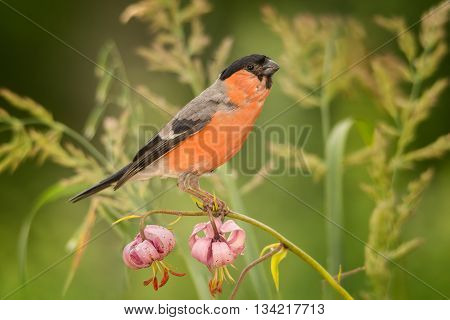 male bullfinch standing on flowers with grass