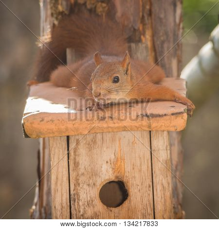 red squirrel laying on a bird house