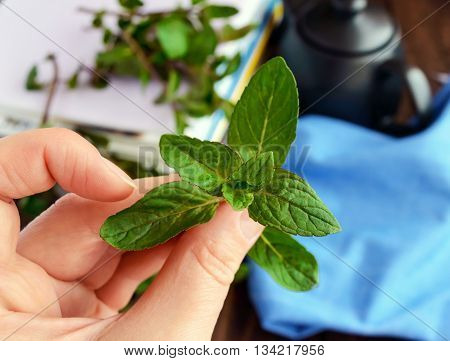Sprig of mint in hand, holding his fingers. Close-up. For tea.