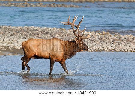 Bull Elk, Cervus Canadensis