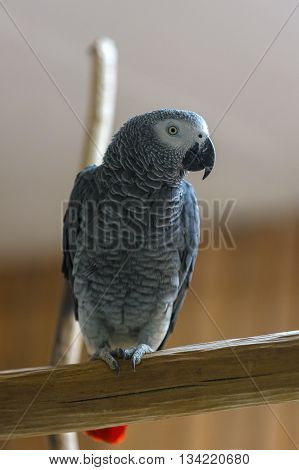 African Grey Parrot Perched On Tree Branch In Park