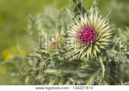 close up of a Silybum thistle about to flower