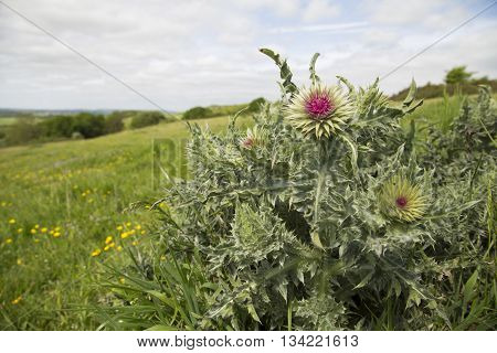 Thistle plant starting to open on a hill top