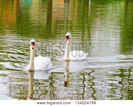 A pair of adult Mute Swans (Cygnus olor).