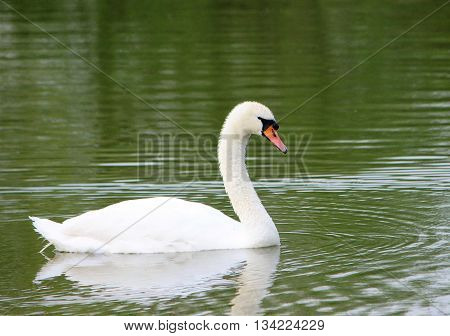 Close-up image of an adult Mute Swan (Cygnus olor).
