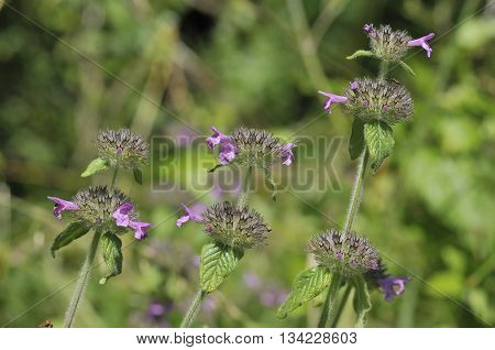Wild Basil - Clinopodium vulgare Wild Herb Flower