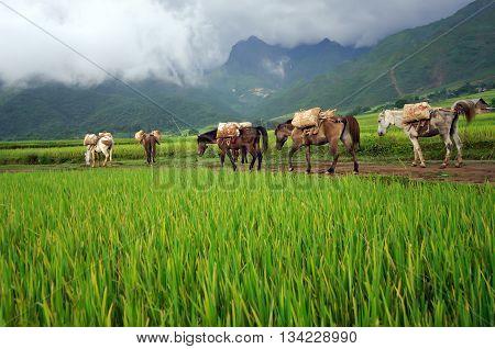 pack horses, passing rice fields, highland Lai Chau, Vietnam