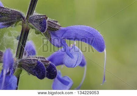 Meadow Clary - Salvia pratensis Rare grassland Flower