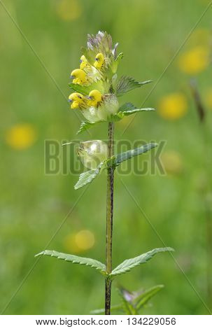 Yellow Rattle - Rhinanthus minor Parasite of grasses