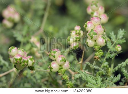 Spiny or Thorny Burnet - Sarcopoterium spinosum Showing Male & Female Flowers