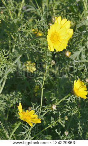 Crown Daisy or Crown Marigold - Glebionis coronaria