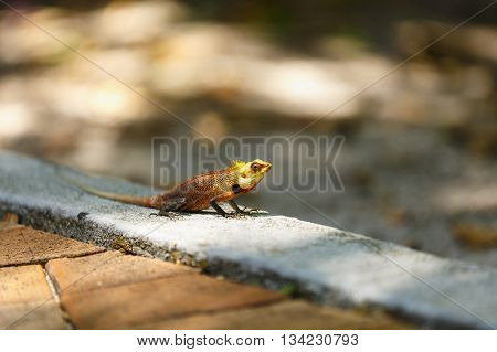 Chameleon sunbathe in morning with blur nature background