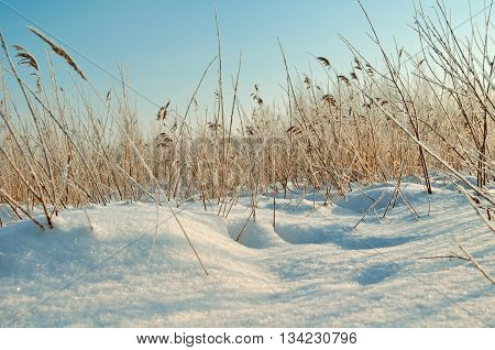 Winter landscape - snowy winter field and frozen plants at the sunset natural sunset winter view with soft sunlight. Picturesque winter field landscape