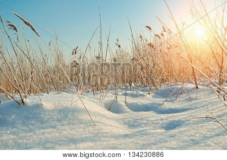 Winter landscape - snowy winter field and frozen plants at the sunset natural sunset winter view with sunlight. Picturesque winter field landscape