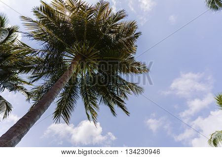 Close Up Detail Of A Tropical Coconut Palm Tree Variety Found In Maldive