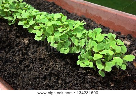 Fresh arugula plants sprouting in garden planter.