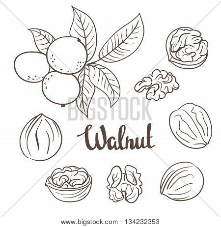 Walnuts with leaves and dried walnuts isolated on a white background.