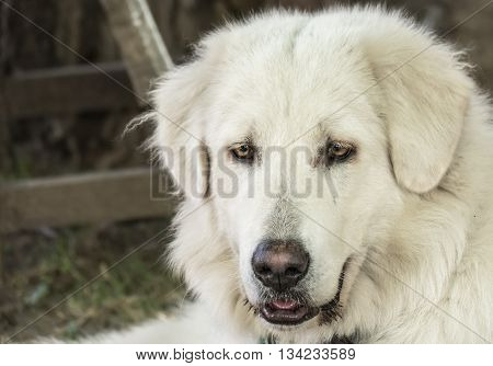 Serbian Shepherd And Guard Dog Sharplaninatz Portrait