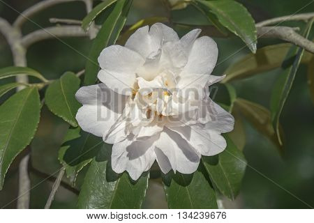 Polar Ice hybrid camellia (Camellia x hybrid Polar Ice). Image of single white flower